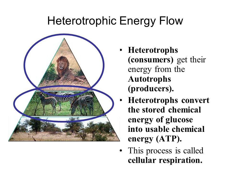 Heterotrophic Energy Flow