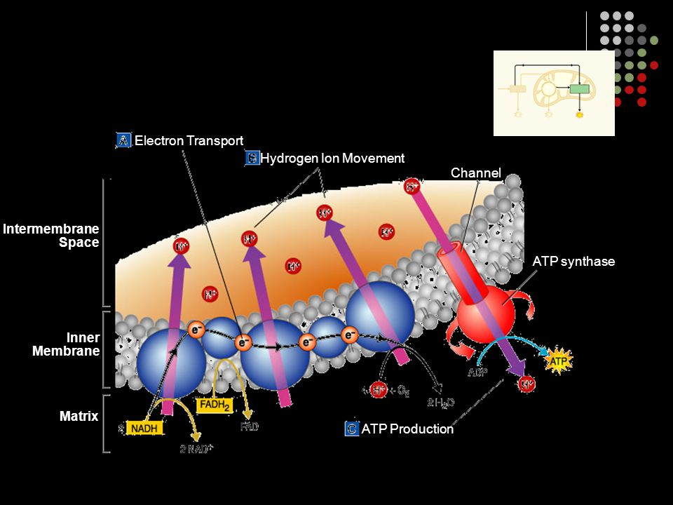 Electron Transport Hydrogen Ion Movement. Channel. Intermembrane. Space. ATP synthase. Inner. Membrane.
