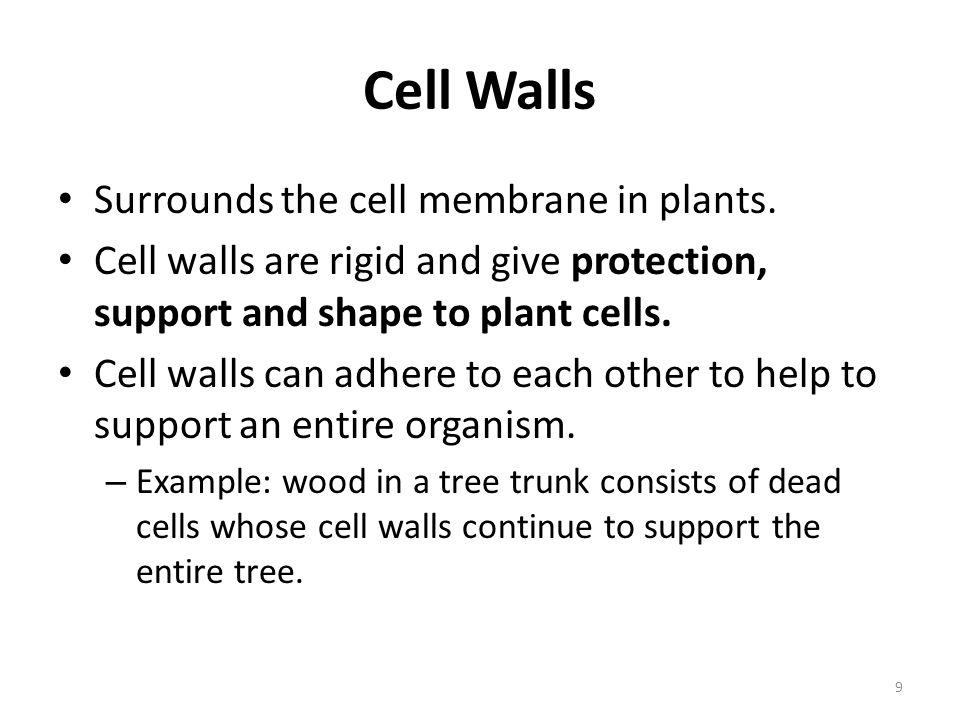 Cell Walls Surrounds the cell membrane in plants.