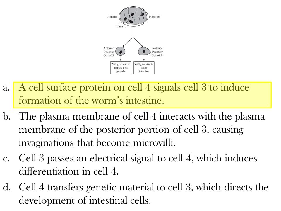 A cell surface protein on cell 4 signals cell 3 to induce formation of the worm's intestine.