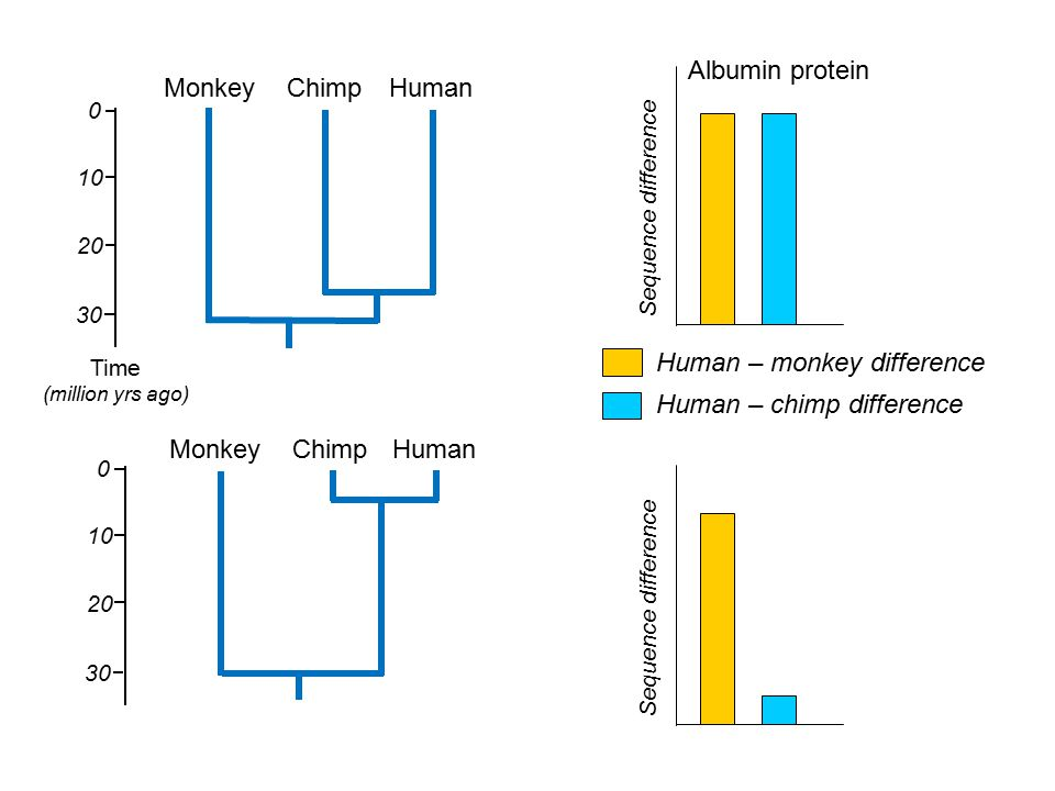 Human – chimp difference Human – monkey difference Monkey Chimp Human