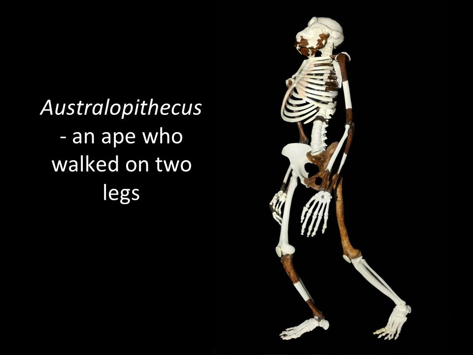 Australopithecus - an ape who walked on two legs