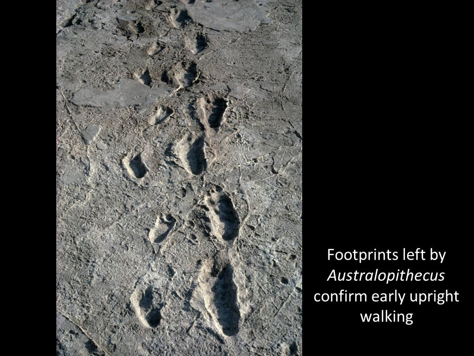 Footprints left by Australopithecus confirm early upright walking