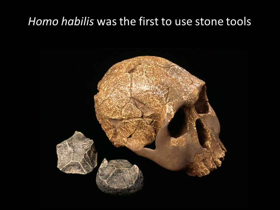 Homo habilis was the first to use stone tools