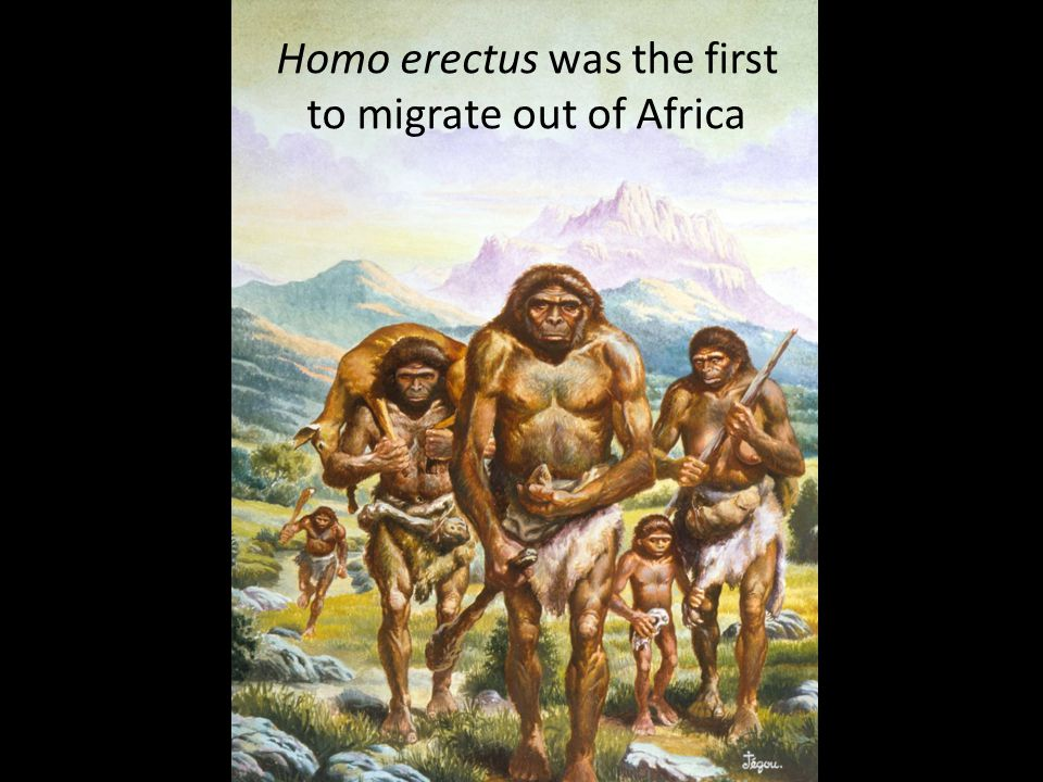 Homo erectus was the first to migrate out of Africa