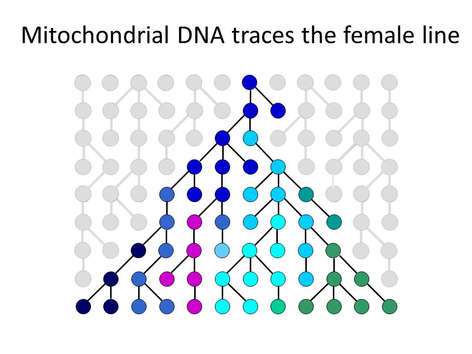 Mitochondrial DNA traces the female line
