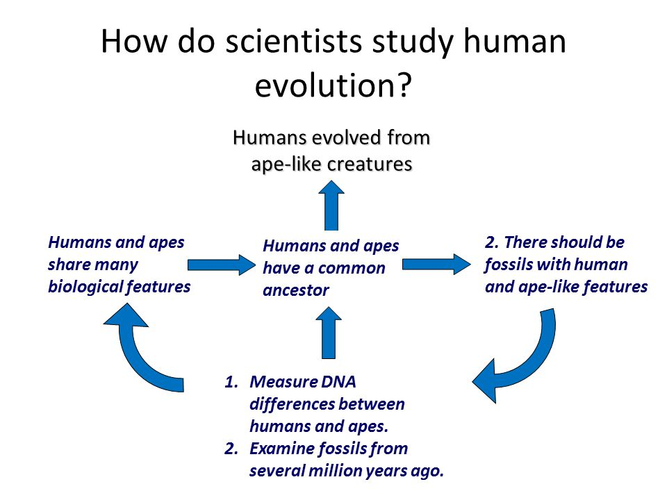 How do scientists study human evolution