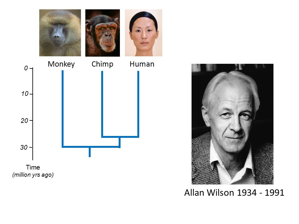 Allan Wilson 1934 - 1991 Monkey Chimp Human 10 20 30 Time
