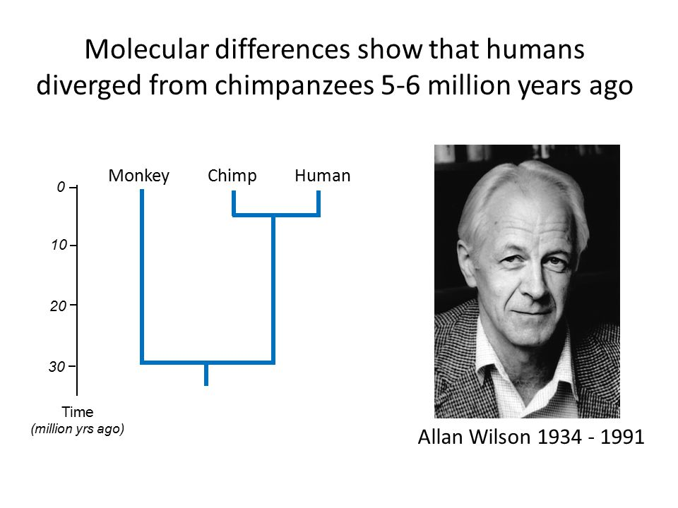 Molecular differences show that humans diverged from chimpanzees 5-6 million years ago