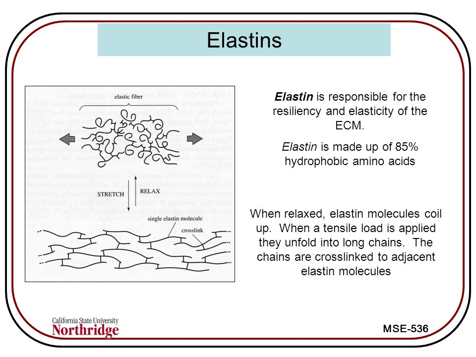 Elastins Elastin is responsible for the resiliency and elasticity of the ECM. Elastin is made up of 85% hydrophobic amino acids.