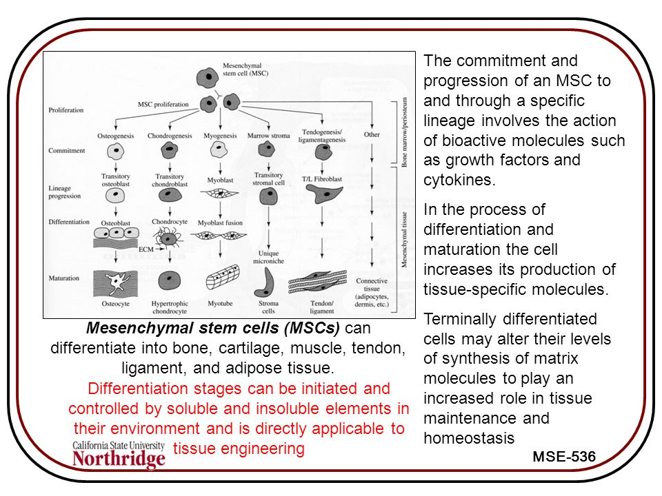 The commitment and progression of an MSC to and through a specific lineage involves the action of bioactive molecules such as growth factors and cytokines.