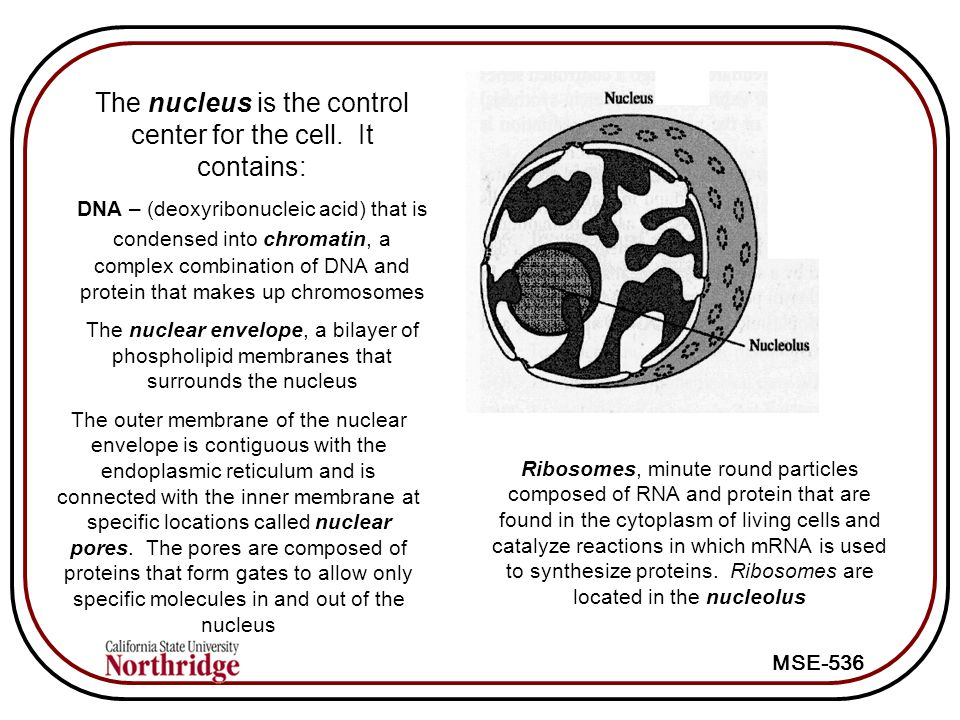 The nucleus is the control center for the cell. It contains: