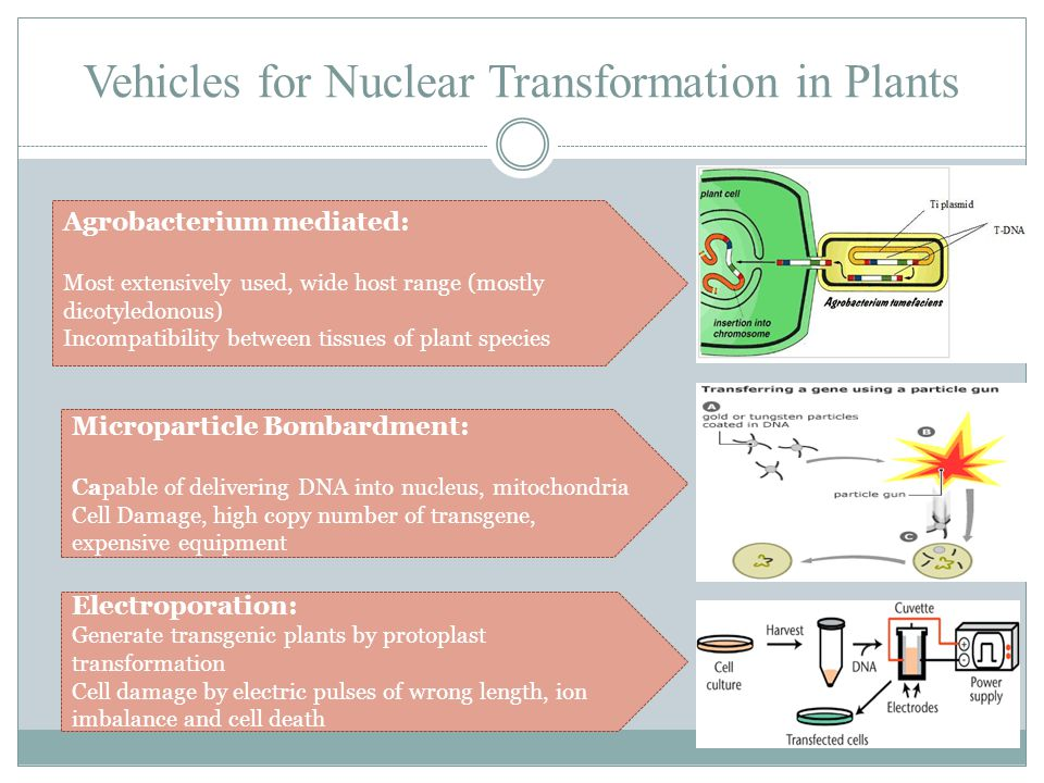 Vehicles for Nuclear Transformation in Plants