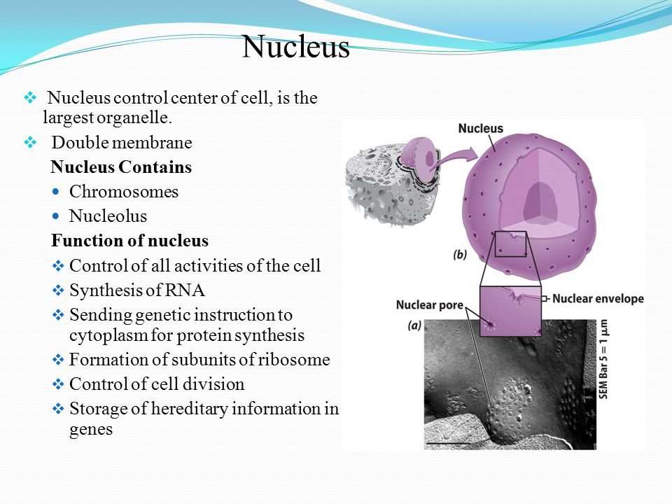 Nucleus Nucleus control center of cell, is the largest organelle.