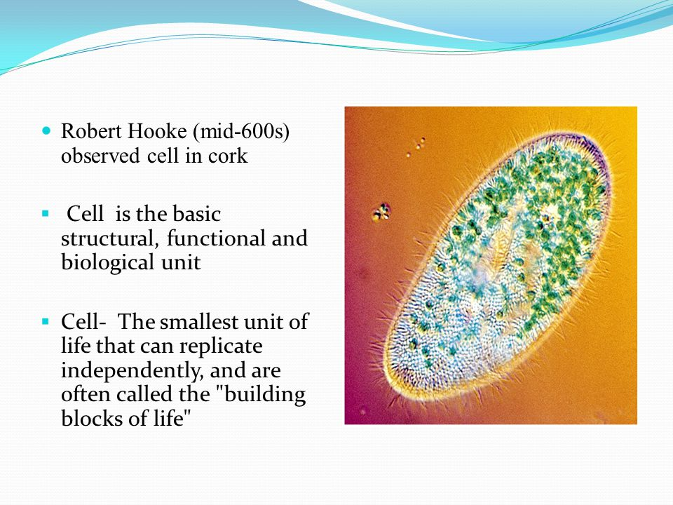 Robert Hooke (mid-600s) observed cell in cork
