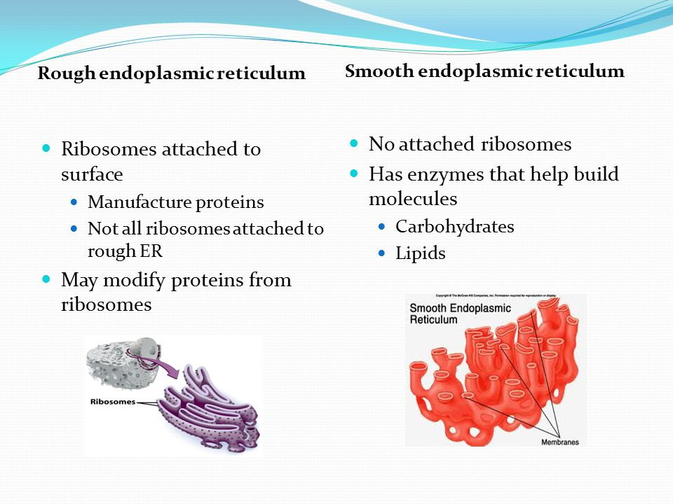 Has enzymes that help build molecules Ribosomes attached to surface