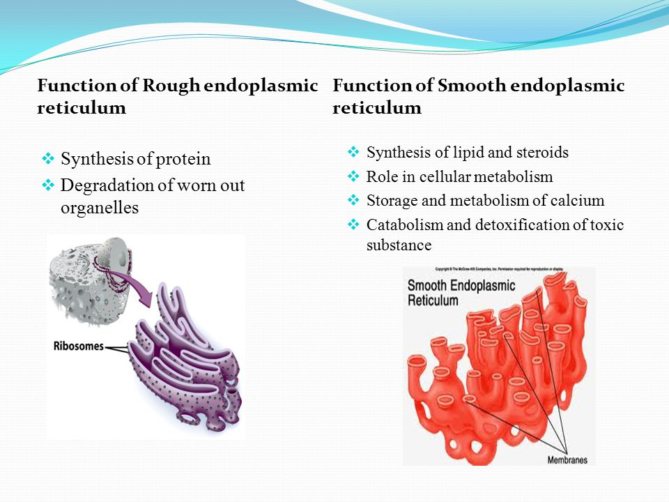 rough endoplasmic reticulum function Endoplasmic reticulum (er) is a cellular organelle it is the transport network for molecules going to specific places, as compared to molecules that float freely in the cytoplasm the endoplasmic.