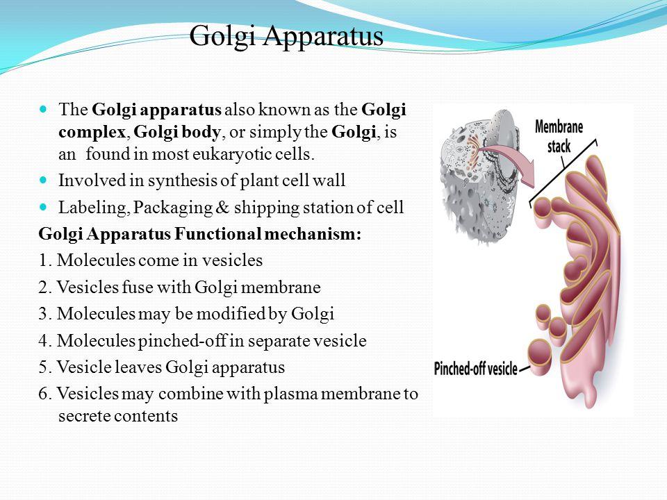 Golgi Apparatus The Golgi apparatus also known as the Golgi complex, Golgi body, or simply the Golgi, is an found in most eukaryotic cells.