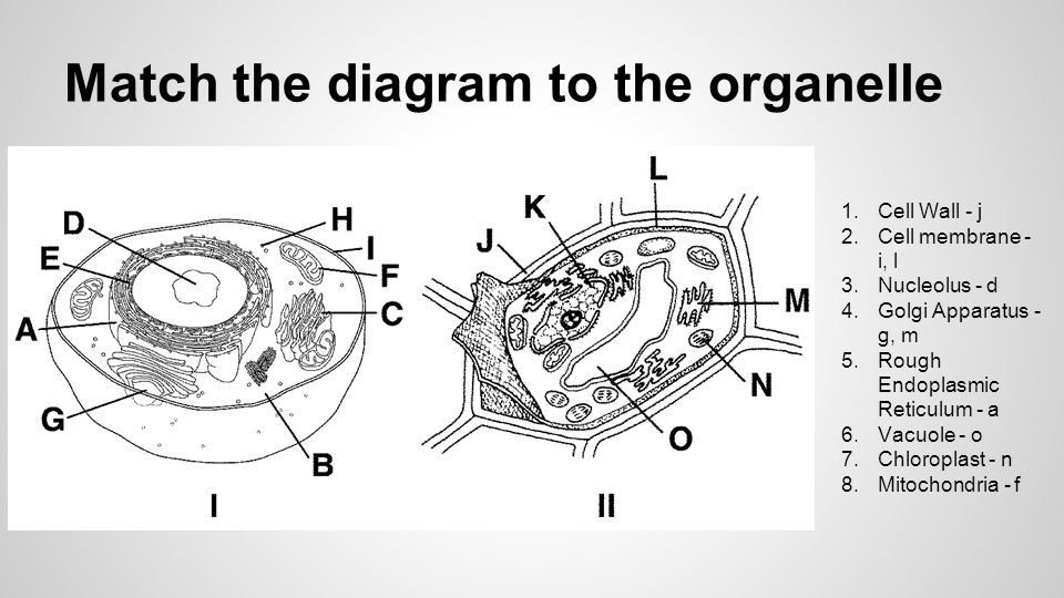 Match the diagram to the organelle