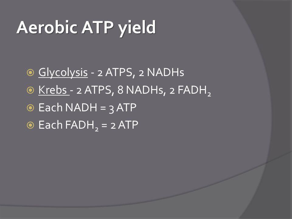 Aerobic ATP yield Glycolysis - 2 ATPS, 2 NADHs