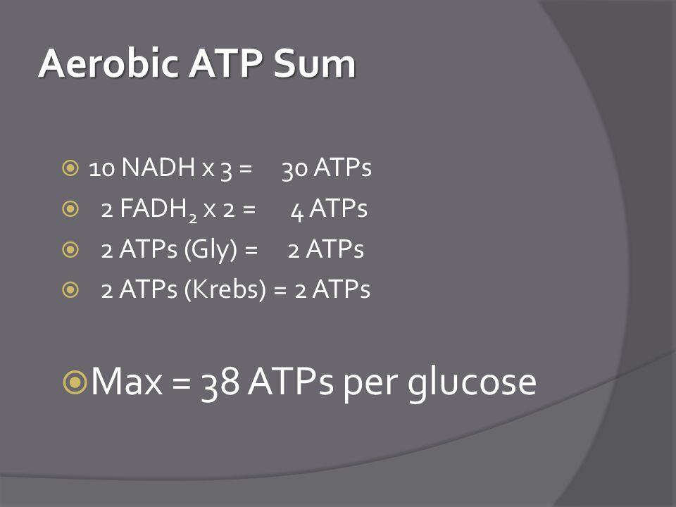 Aerobic ATP Sum Max = 38 ATPs per glucose 10 NADH x 3 = 30 ATPs