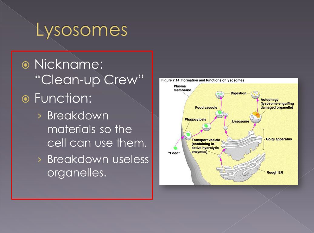 Lysosomes Nickname: Clean-up Crew Function: