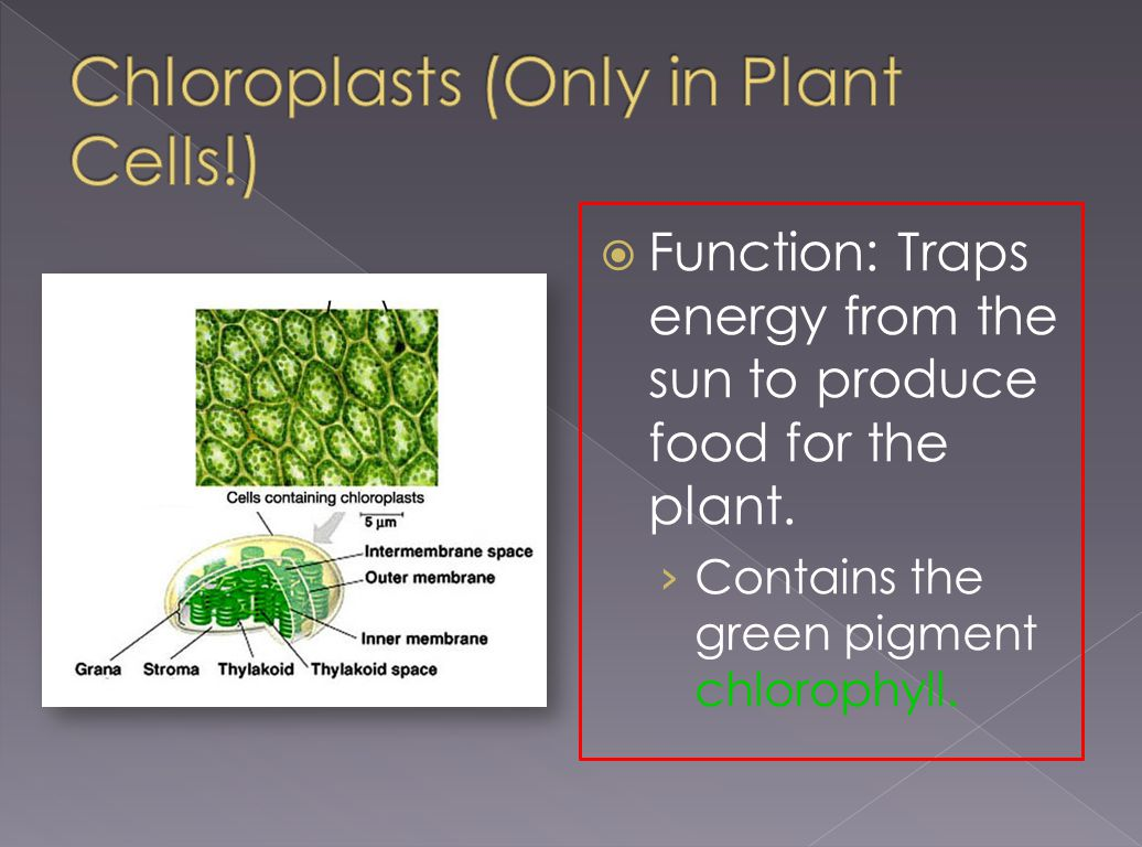 Chloroplasts (Only in Plant Cells!)