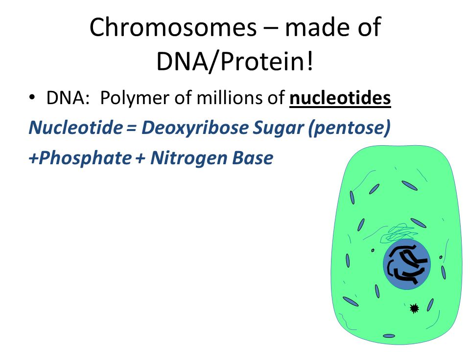 Chromosomes – made of DNA/Protein!