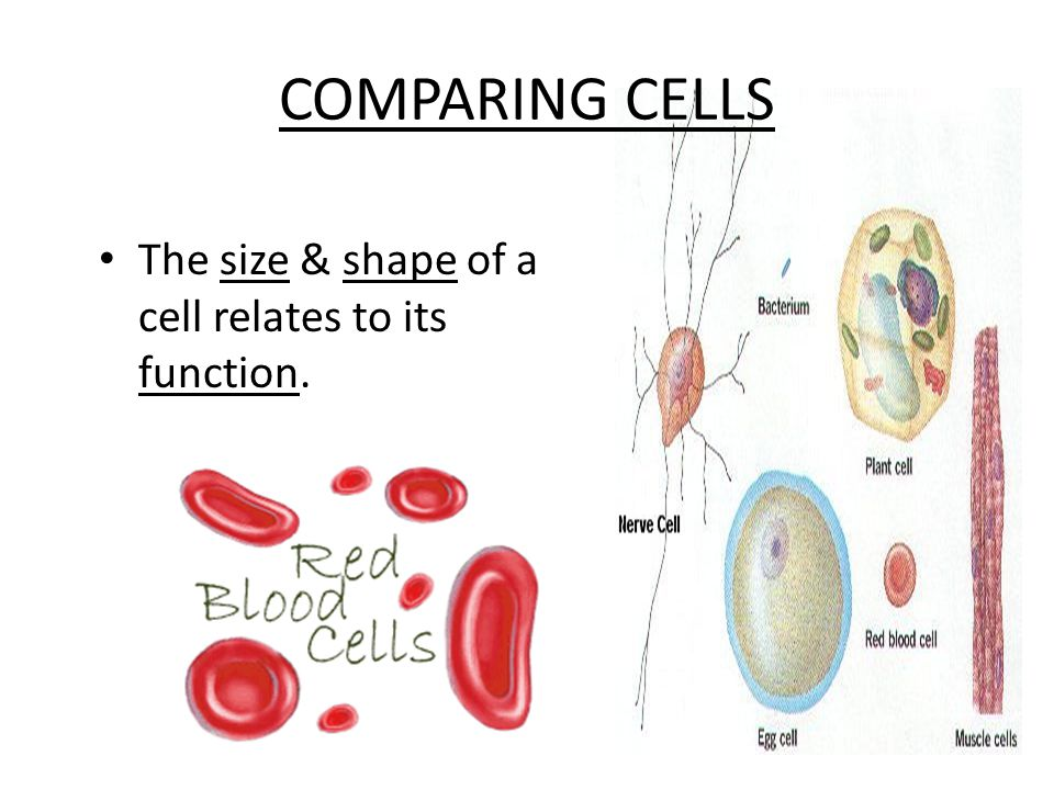 COMPARING CELLS The size & shape of a cell relates to its function.
