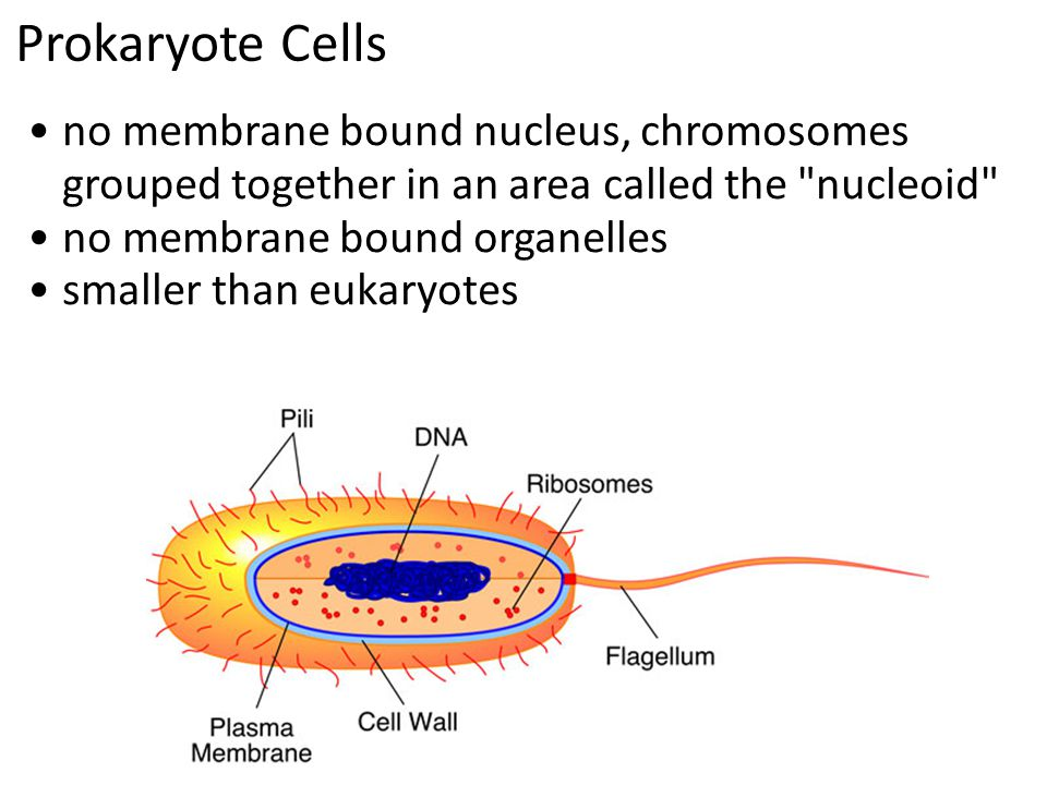 Prokaryote Cells no membrane bound nucleus, chromosomes grouped together in an area called the nucleoid