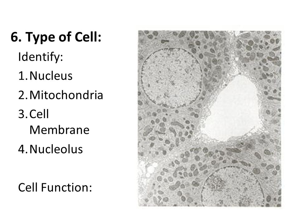 6. Type of Cell: Identify: Nucleus Mitochondria Cell Membrane