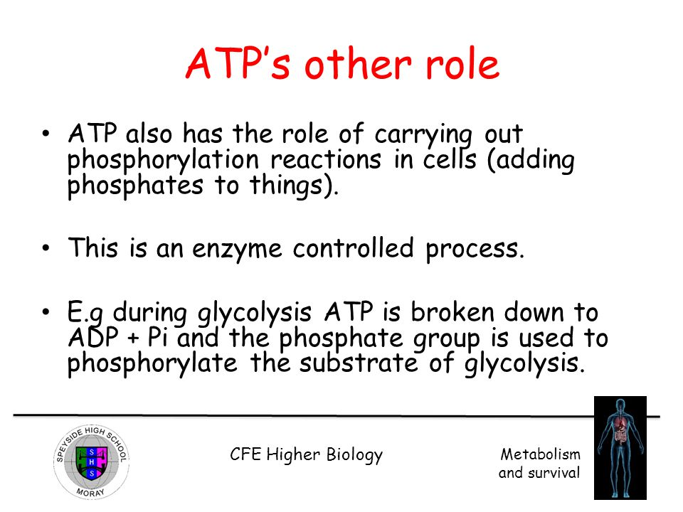 ATP's other role ATP also has the role of carrying out phosphorylation reactions in cells (adding phosphates to things).