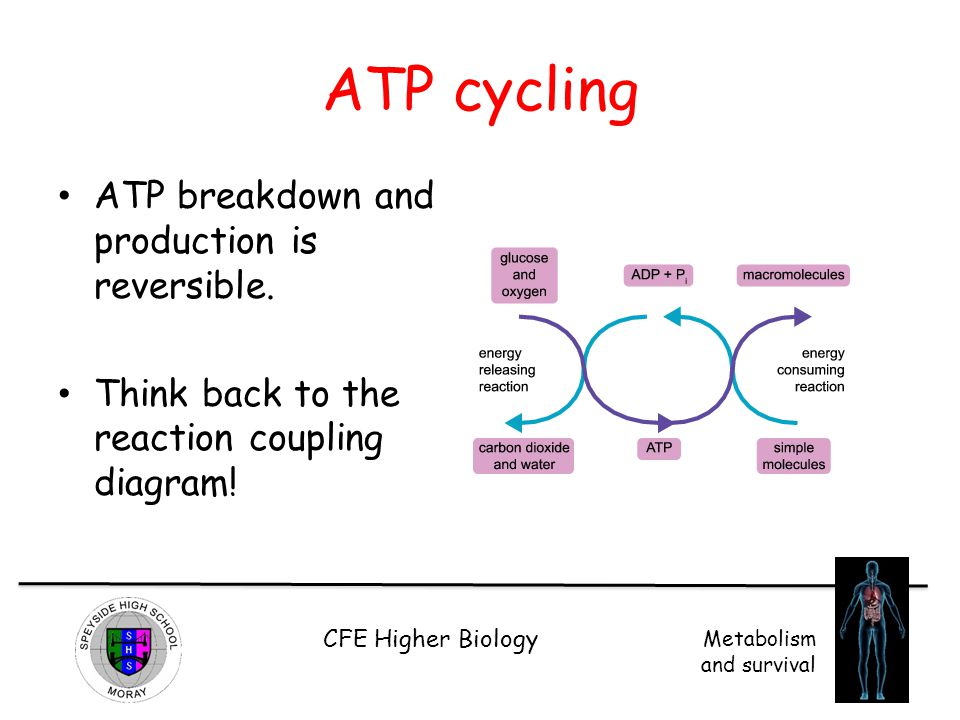 ATP cycling ATP breakdown and production is reversible.