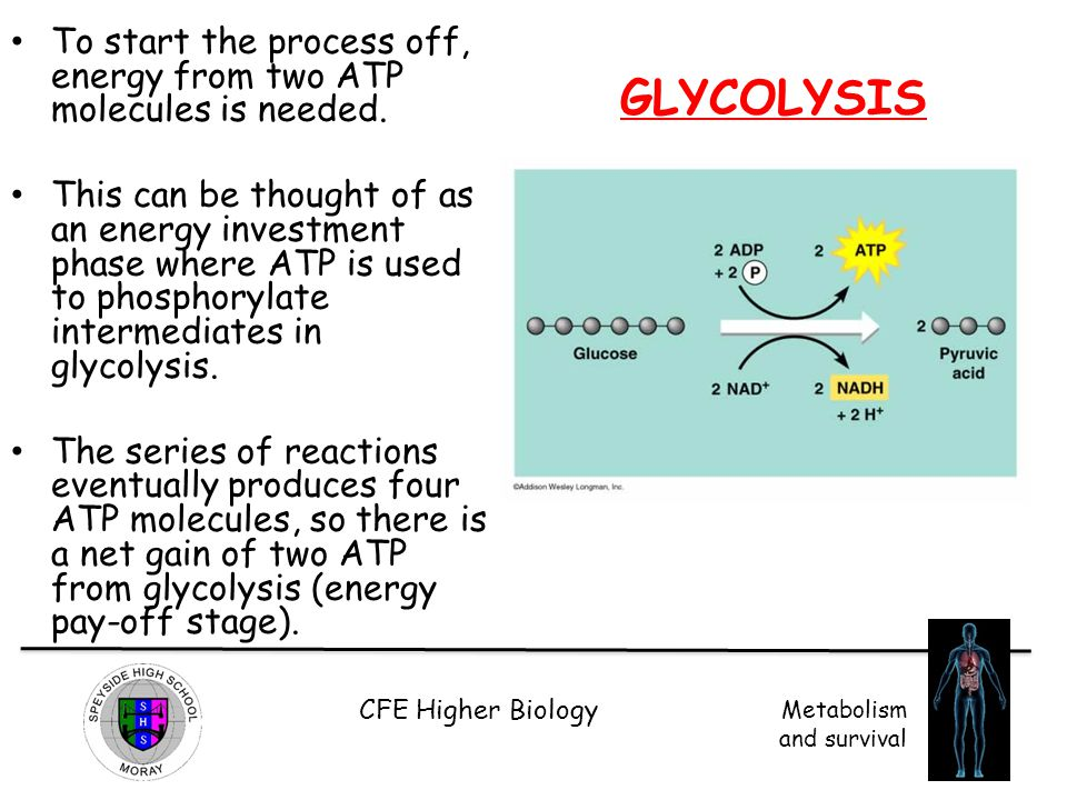 To start the process off, energy from two ATP molecules is needed.