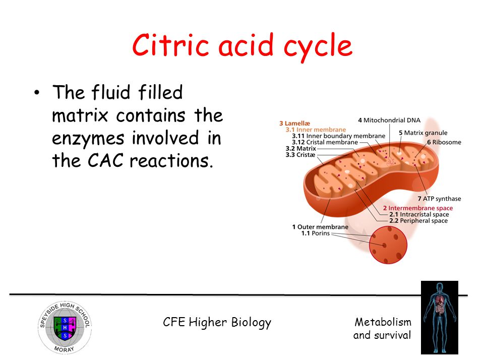 Citric acid cycle The fluid filled matrix contains the enzymes involved in the CAC reactions.
