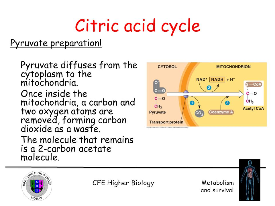 Citric acid cycle Pyruvate preparation!