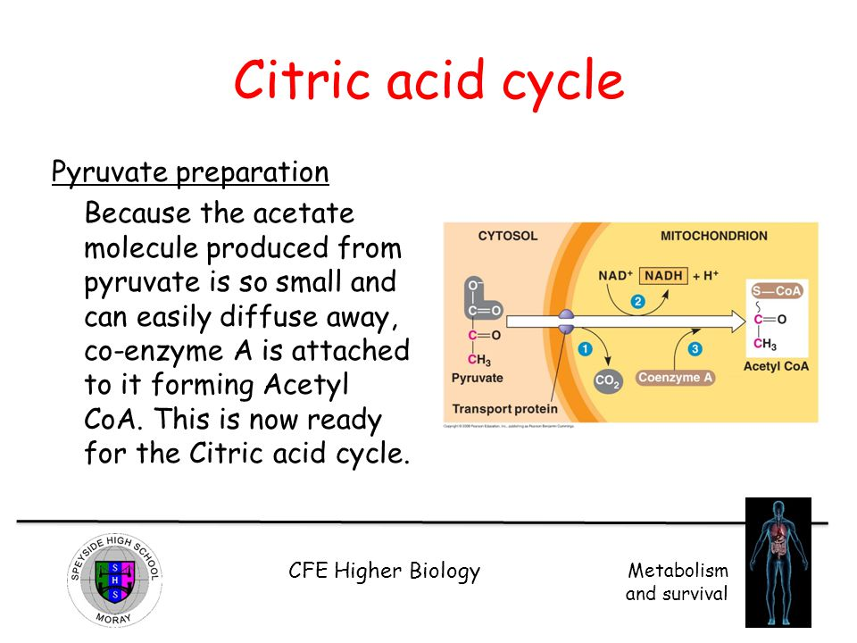 Citric acid cycle Pyruvate preparation