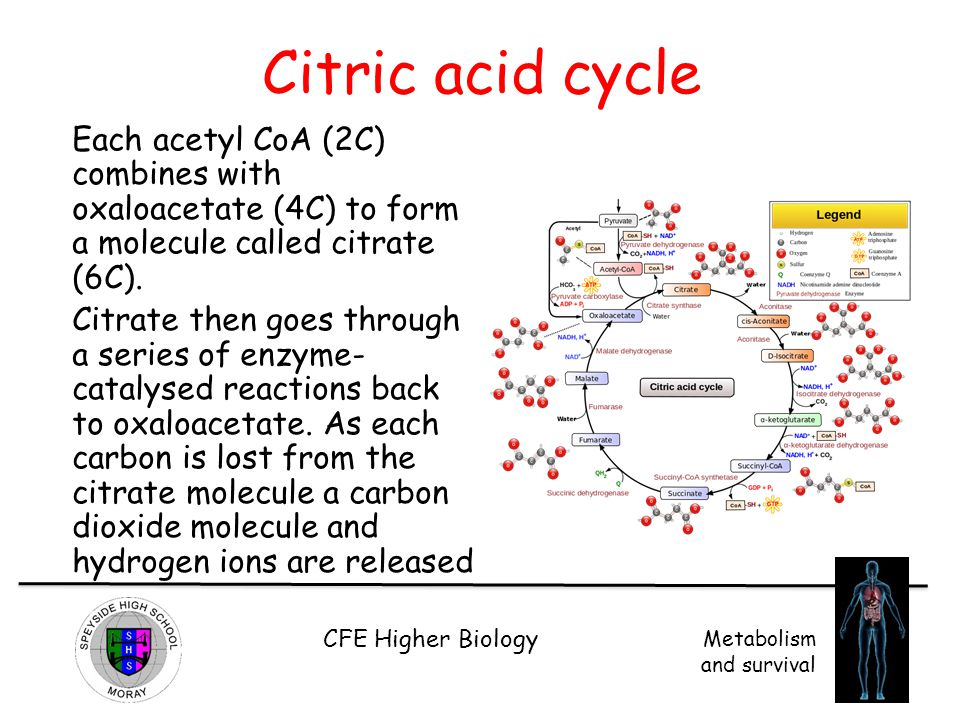 Citric acid cycle Each acetyl CoA (2C) combines with oxaloacetate (4C) to form a molecule called citrate (6C).