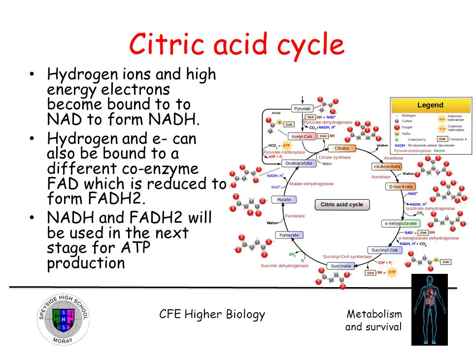 Citric acid cycle Hydrogen ions and high energy electrons become bound to to NAD to form NADH.