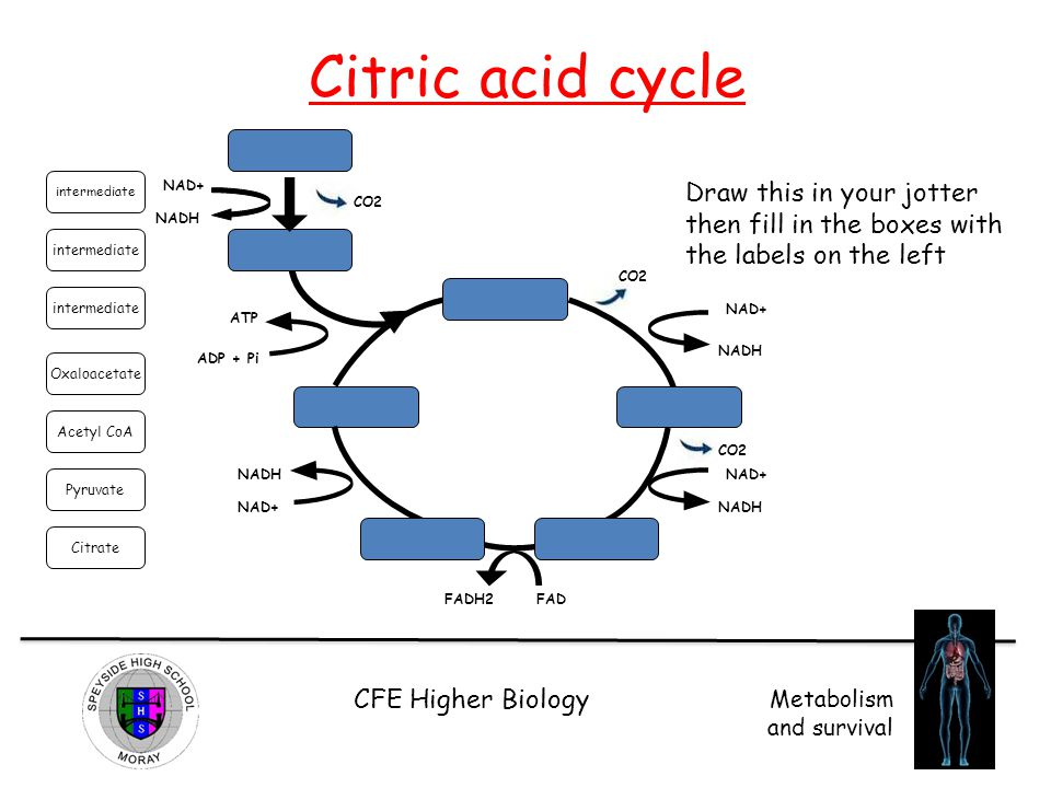 Citric acid cycle intermediate. NAD+ Draw this in your jotter then fill in the boxes with the labels on the left.