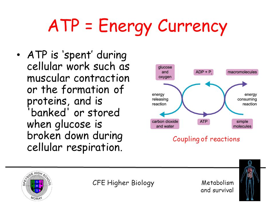 ATP = Energy Currency