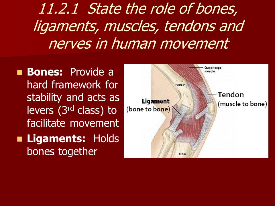 11.2.1 State the role of bones, ligaments, muscles, tendons and nerves in human movement