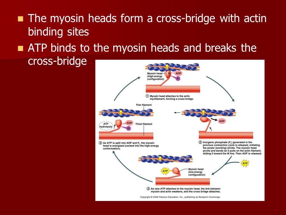 The myosin heads form a cross-bridge with actin binding sites