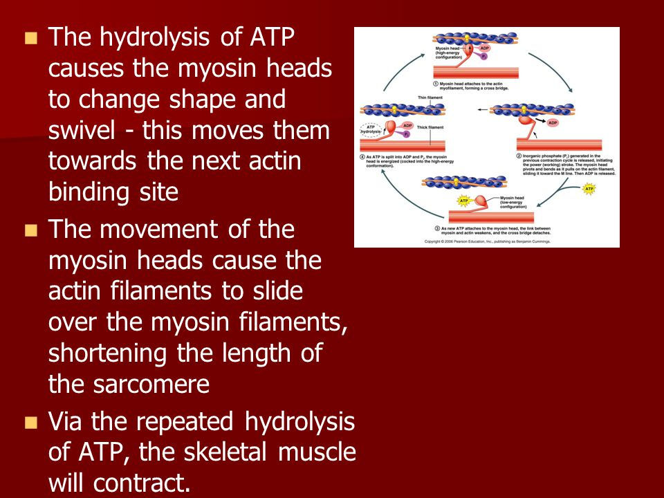 The hydrolysis of ATP causes the myosin heads to change shape and swivel - this moves them towards the next actin binding site