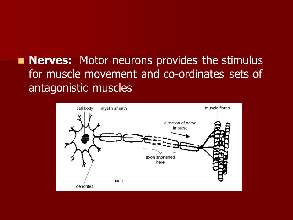 Nerves: Motor neurons provides the stimulus for muscle movement and co-ordinates sets of antagonistic muscles