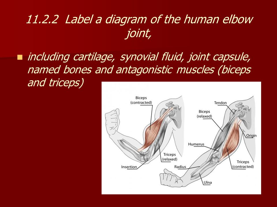 11.2.2 Label a diagram of the human elbow joint,