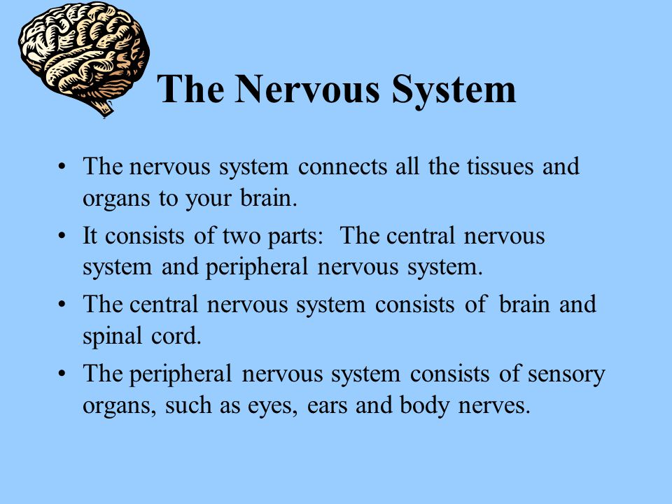 The Nervous System The nervous system connects all the tissues and organs to your brain.