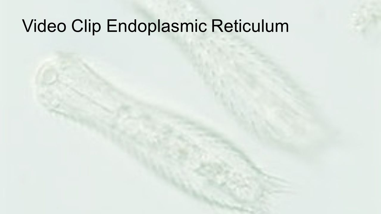Video Clip Endoplasmic Reticulum