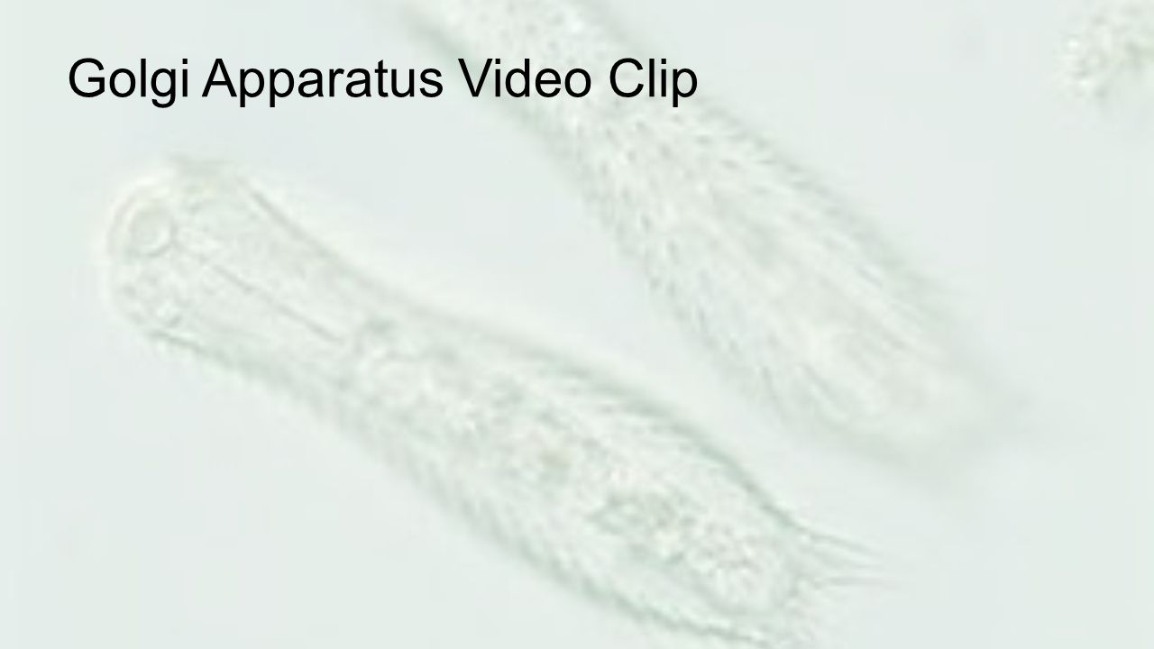 Golgi Apparatus Video Clip