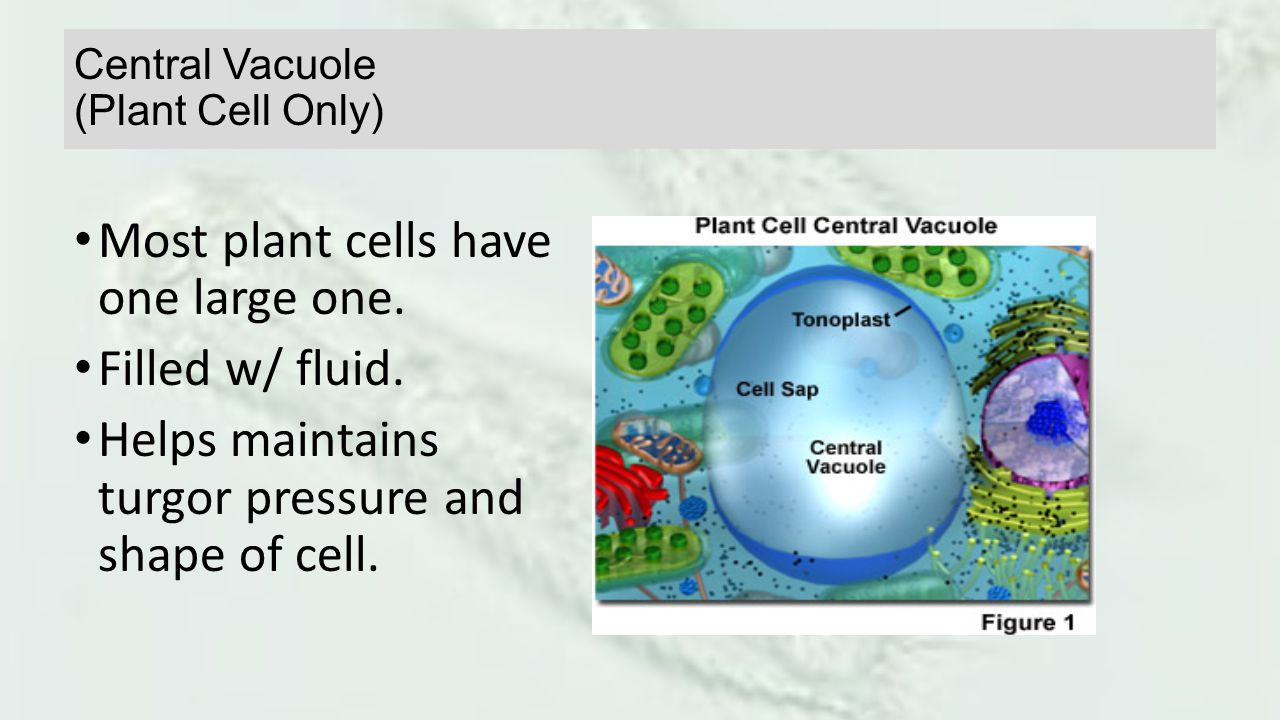 Central Vacuole (Plant Cell Only)